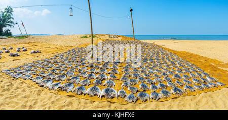 Panorama of Bentota sand beach with flattened fish, drying in the sun, Sri Lanka. - Stock Photo