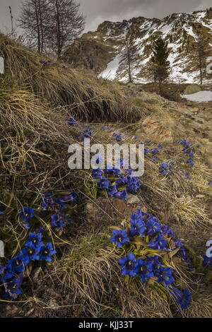 Stemless Gentian, Gentiana acaulis, in flower in early spring on the Col de la Lombarde, Colle della Lombarda, Maritime - Stock Photo