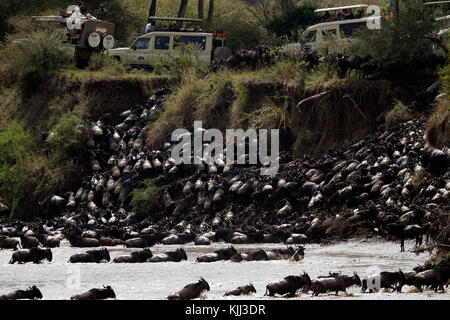 Herd of migrating wildebeest (Connochaetes taurinus) crossing Mara river.  Tourists watching the migration.  Masai - Stock Photo