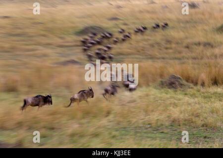 Blue Wildebeest (Connochaetes taurinus) herd migrating through savanna. Motion blur of a running wildebeests.  Masai - Stock Photo