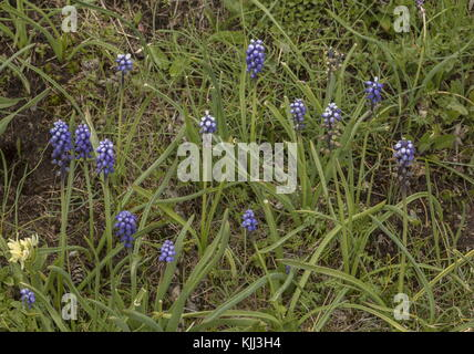 Small Grape Hyacinth, Muscari botryoides, in flower in the Maritime alps. - Stock Photo