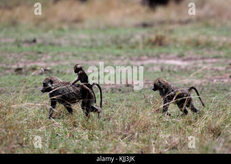 A Yellow baboon (Papio cynocephalus) mother is carrying her baby. Masai Mara game reserve. Kenya. - Stock Photo