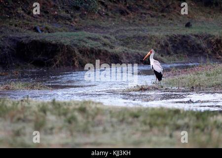 A Yellow-billed stork (Mycteria ibis) is fishing in small waterhole.  Masai Mara game reserve. Kenya. - Stock Photo