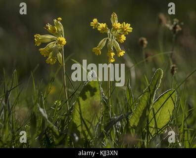Cowslip, Primula veris in flower in meadow, against the light. - Stock Photo