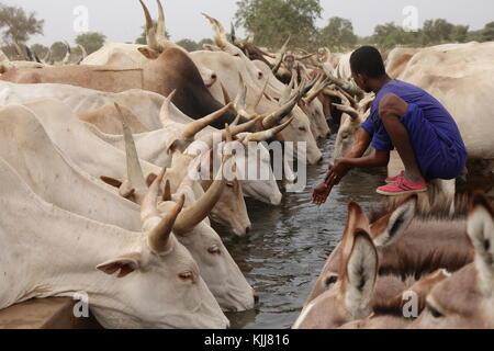 cattle of thirsty cows with some donkeys drinking in a long watering hole during the dry season in north of senegal - Stock Photo