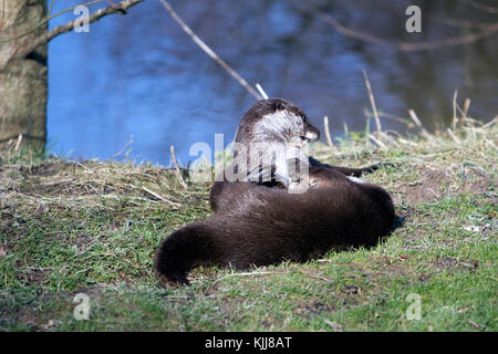 A pair of European Otters playing at the riverbank UK (lutra lutra) Late Winter - Stock Photo