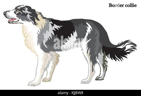 Portrait of standing in profile dog Border collie, vector colorful illustration isolated on white background - Stock Photo