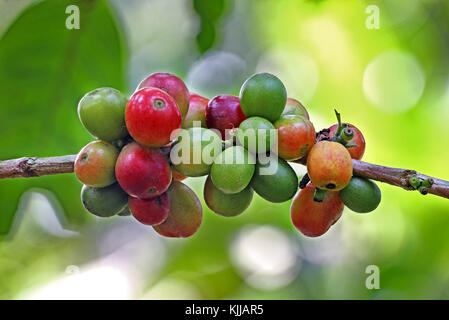 Close up of ripening and ripe coffee beans growing in plant in Kerala State of India - Stock Photo