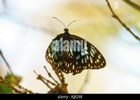 Butterly, Noosa Head, Australia, Travel Lifestyle, Papillon, giant, colorful - Stock Photo