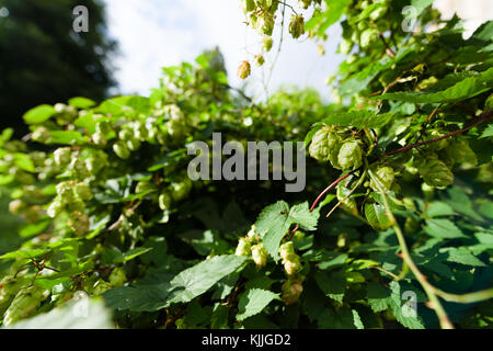 Closeup of hop branch in vegetation. Two wild hop cones hang from a branch in a wildlife garden in London, UK. Hops - Stock Photo