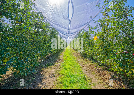 Apple orchard in autumn time - Stock Photo