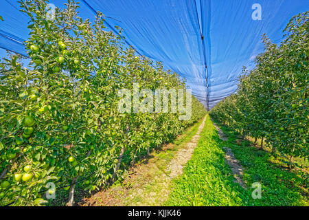 Apple Orchard Row With Green Apples On Ground At Harvest