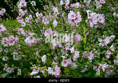 Lavatera Barnsley, Bush Mallow, pink, white, flower, flowers, flowering, perennial, shrub, RM Floral - Stock Photo