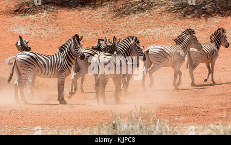 A herd of Zebra gathered at a watering hole in Southern African savanna - Stock Photo