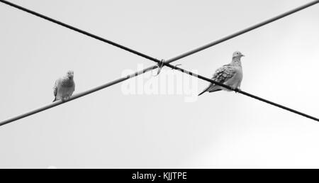 Peaceful dove's (Geopelia placida) perched on a powerline, Townsville, Queensland, Australia - Stock Photo
