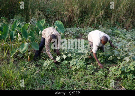 ENCOT microfinance branch manager Francis Buguma (left) harvesting with farmer client Apollo Byarunga. Uganda - Stock Photo