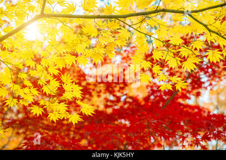 Red and Yellow maple leaves in autumn season with blue sky blurred background, taken from Japan. - Stock Photo
