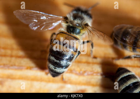Bees working the carpathian breed close-up - Stock Photo