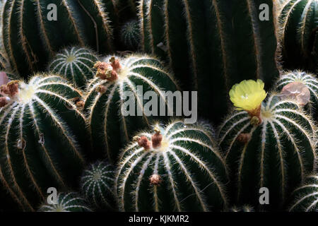 Botanical Garden of the City of Geneva. Parodia magnifica is a species of flowering plant in the Cactaceae family, - Stock Photo