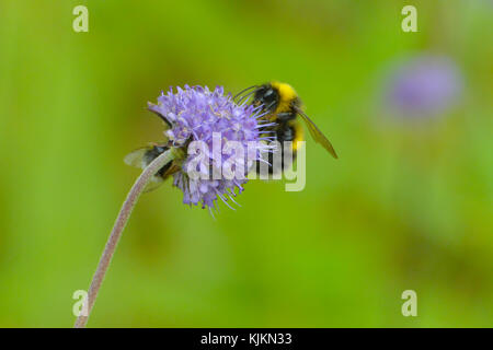 A honey bee sucking the nectar from a purple flower; picture taken in Norway. - Stock Photo
