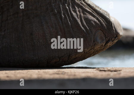 Madikwe Game Reserve. African Elephant (Loxodonta africana). Close-up of foot.  South Africa. - Stock Photo