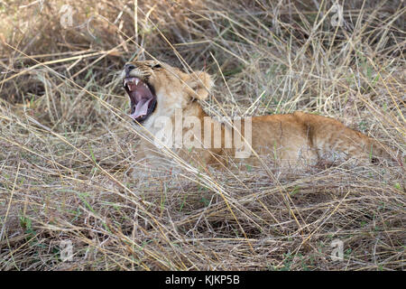 Serengeti National Park. Lioness yawning (Panthera leo).  Tanzania. - Stock Photo