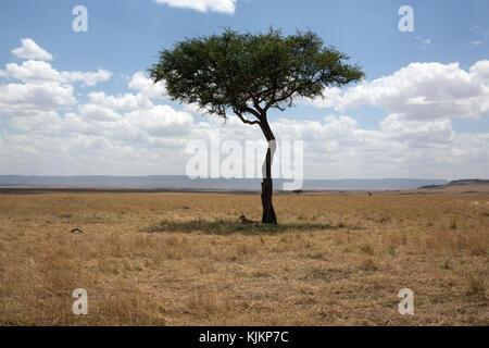 Masai Mara National Reserve.  Lioness (Panthera leo) in savanna.  Kenya. - Stock Photo