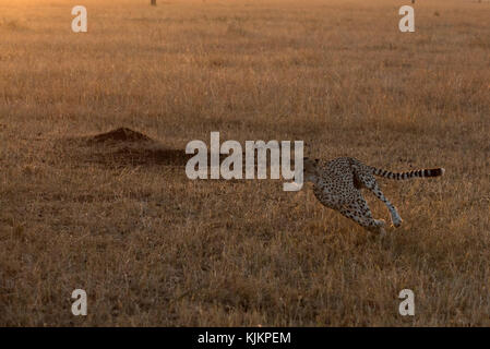 Serengeti National Park. Cheetah (Acinonyx jubatus) running at full speed,  Tanzania. - Stock Photo