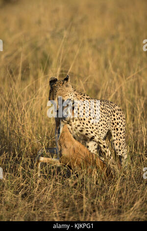Serengeti National Park. Cheetah ( Acinonyx jubatus ) feasting on kill.  Tanzania. - Stock Photo