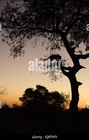 Kruger National Park.  Leopard (Panthera pardus) in a tree at sunset.  South Africa. - Stock Photo