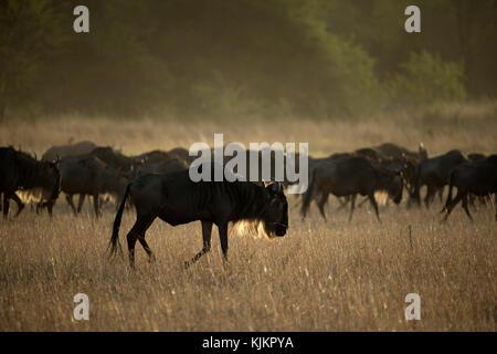 Serengeti National Park. Blue Wildebeest (Connochaetes taurinus) herd migrating through savanna.  Tanzania. - Stock Photo