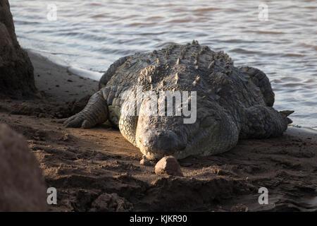 Masai Mara National Reserve.  Nile crocodile (Crocodylus niloticus) resting on a river bank.  Kenya. - Stock Photo
