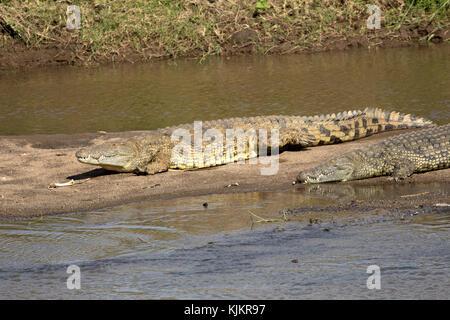 Serengeti National Park. Nile crocodile (Crocodylus niloticus) resting on a river bank.  Tanzania. - Stock Photo