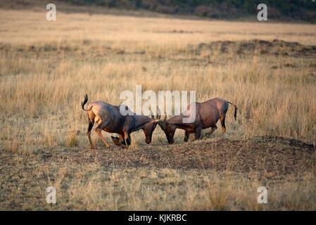 Masai Mara National Reserve. Topi (damaliscus Lunatus).  Kenya. - Stock Photo