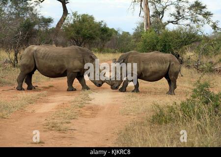 Kruger National Park.  White Rhinoceros (Ceratotherium simum) pair. South Africa. - Stock Photo