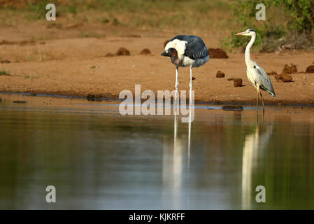 Kruger National Park.  A Marabou Stork ( Leptoptilos crumeniferus).  South Africa. - Stock Photo