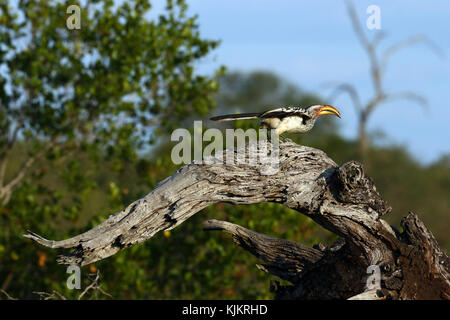 Kruger National Park.  A southern yellow-billed hornbill (Tockus leucomelas). South Africa. - Stock Photo