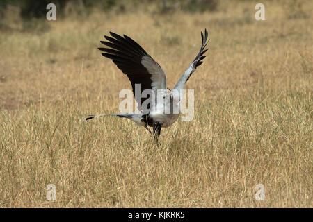 Serengeti National Park. A secretary bird (Sagittarius serpentarius). Tanzania. - Stock Photo