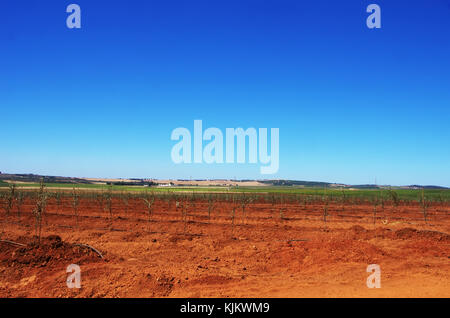 young olives tree in alentejo region, Portugal - Stock Photo