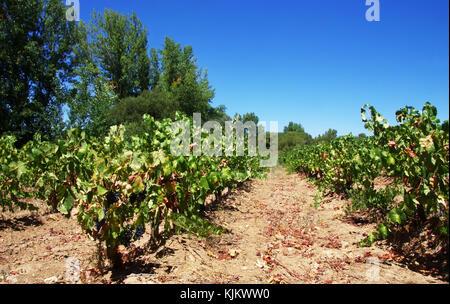 vineyard field in summer, alentejo, Portugal - Stock Photo