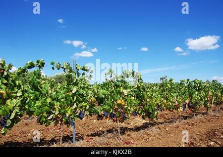 row of  Vineyard at Portugal, Alentejo region - Stock Photo