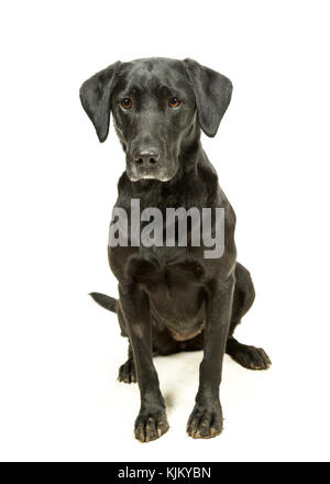 Working Black Lab Labrador Retriever sitting on white background - Stock Photo