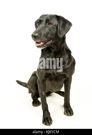 Working Black Lab Labrador Retriever on white background - Stock Photo