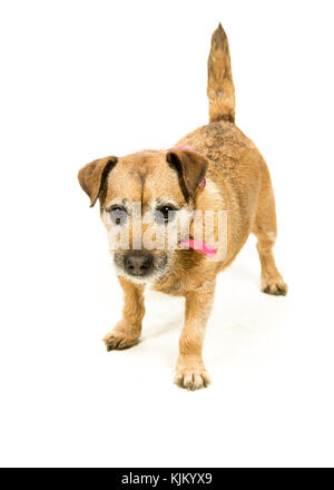 Jack Russell-Border Terrier crossbreed on White Background - Stock Photo