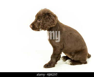 Working Cocker Spaniel Puppy on White Background - Stock Photo