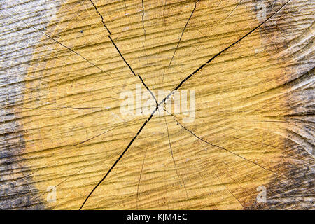 Close-up view of a cut tree trunk showing the concentric rings, the radial rays and splits of the wood. - Stock Photo