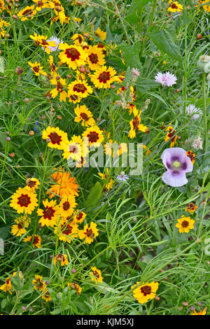 A golden and colourful naturaly planted flower meadow with Coreopsis , Cornflowers, Poppy heads and marigolds - Stock Photo