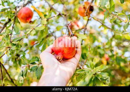 Pomegranate fruit on the tree - Stock Photo