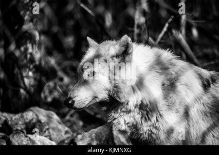 White Arctic wolf (Canis lupus arctosportrait) in the forest, black and white - Stock Photo