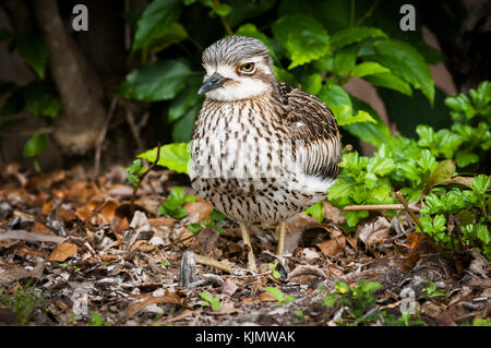 Bush Stone Curlew resting well camouflaged in the dry leafs. - Stock Photo